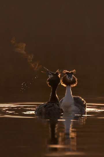 Great Crested Grebe © Ben Hall