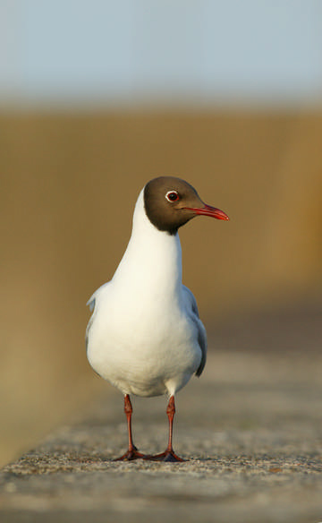 Black-headed Gull © Andy Harmer