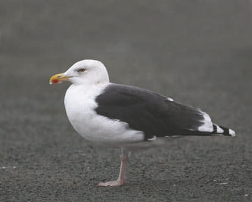 Great Black-backed Gull © Richard Steel