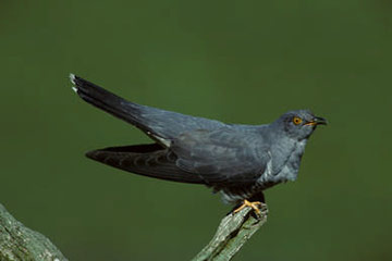 Cuckoo © Simon Booth