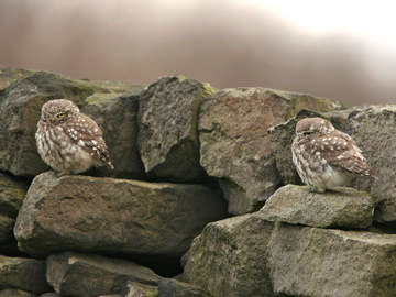 Little Owl © Steve Round