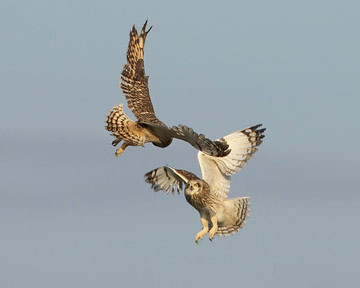 Short-eared Owl © Richard Steel