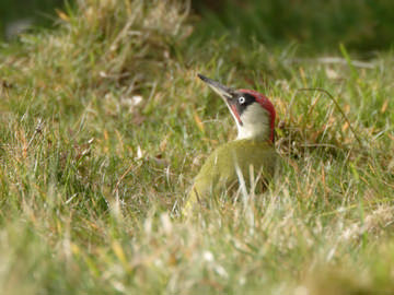 Green Woodpecker © Steve Round