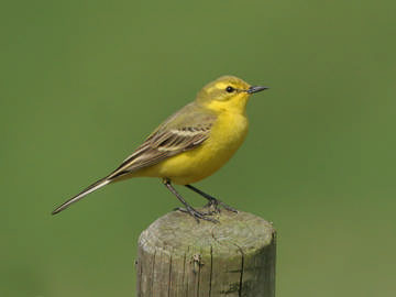 Yellow Wagtail © Steve Round