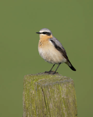 Wheatear © Richard Steel
