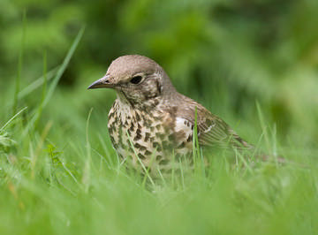 Mistle Thrush © Sue & Andy Tranter