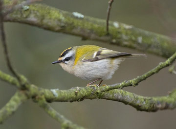 Firecrest © Sue & Andy Tranter