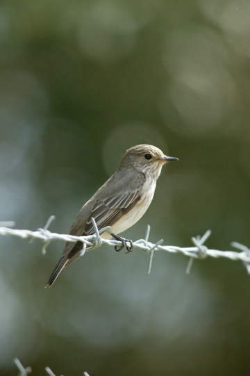 Spotted Flycatcher © Andy Harmer