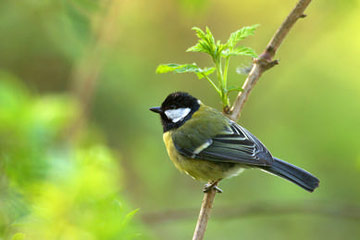 Great Tit © Ben Hall