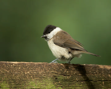 Marsh Tit © Richard Steel