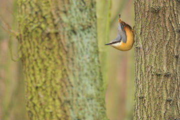 Nuthatch © Ben Hall