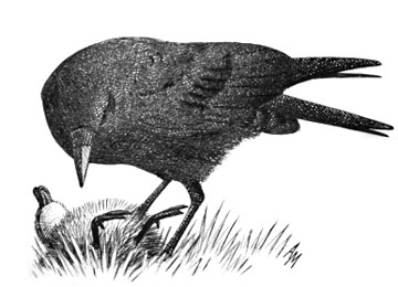 Carrion Crow © Andrew Mart