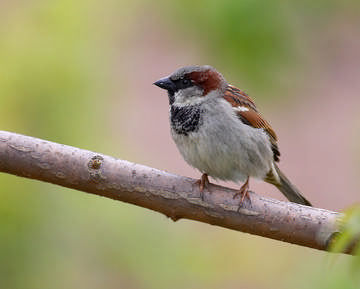 House Sparrow © Richard Steel