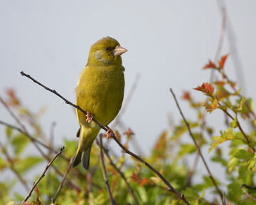 Greenfinch © Richard Steel